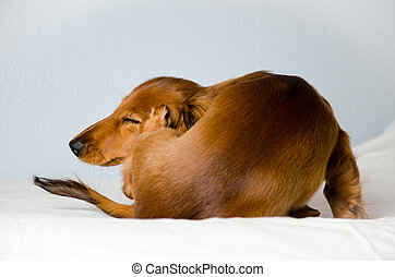 Dog scratching while on some sheets - a dachshund scratching...