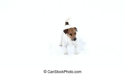 Dog searching. Jack Russell terrier hunts