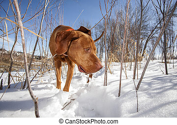 dog searchng in the snow