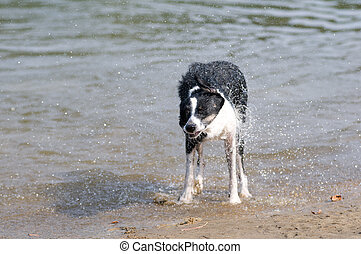 dog shaking after swimming in lake