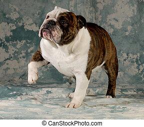 dog lifting paw up to shake - english bulldog female 4 years old