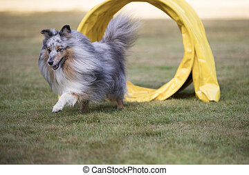 Dog, Shetland Sheepdog, Sheltie, agility