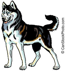 siberian husky - dog siberian husky breed, illustration ...