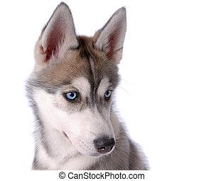 Dog Siberian Husky - Puppy dog Siberian Husky