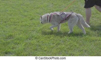 Dog siberian husky runs along the grass behind the owner....