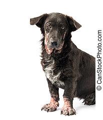 Dog sick leprosy skin problem with white background