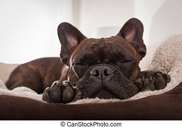 french bulldog dog having a sleeping and relaxing a siesta in living room