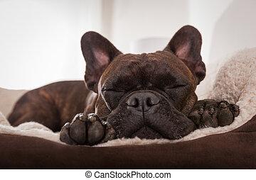 dog siesta sleep - french bulldog dog having a sleeping and...
