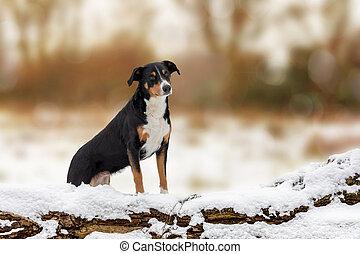 Dog sitting behind a fallen log in the snow in winter, Appenzeller sennenhund