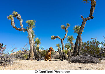 dog sitting between joshua trees in california