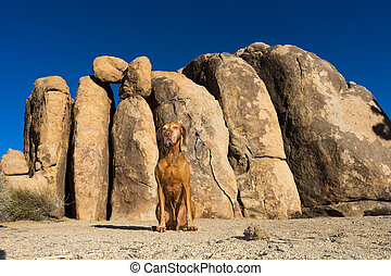 dog sitting front of cliff in joshua tree national park california