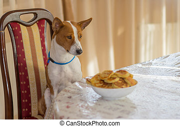 Dog sitting on a chair at dinner table and hypnotizing plate of pancakes