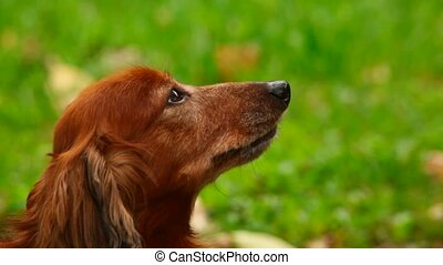 dog sitting on green grass, profile
