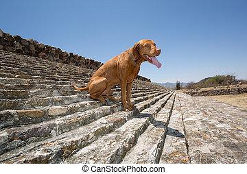 dog sitting on the stairs of the ballgame court in Dainzu