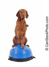 dog sitting on top of exercise ball