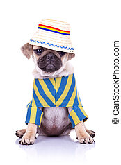 dog sitting wearing clothes and hat - adorable pug puppy dog...