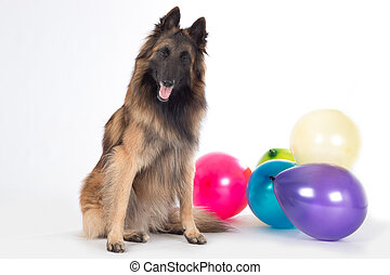Dog sitting with eyes closed, colored balloons, isolated white studio background