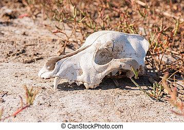 Dog skull in grass