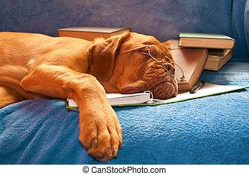 dog, slapende