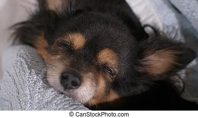 Dog sleeping in a bed - Small old dog sleeps covered with...