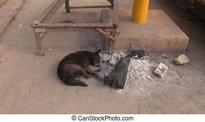dog sleeping near fire ash in India - dog sleeping near fire...
