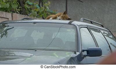 Dog Sleeping on a Car - A dog is sleeping on a car hood.
