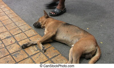 Dog Sleeping On The Road - A crazy Thai dog lays down to...