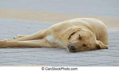 dog sleeping on the sidewalk slow motion video - a stray dog...