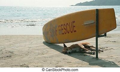 Dog sleeping under Surf Rescue surfboard on the beach