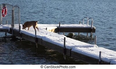 Dog Slips on Snowy Dock