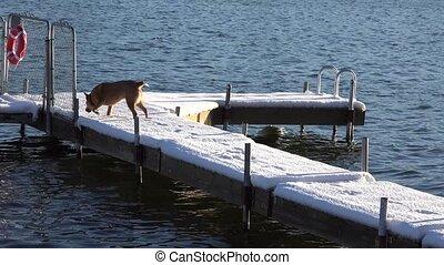 Dog Slips on Snowy Dock - A clumsy dog slips on a snowy...