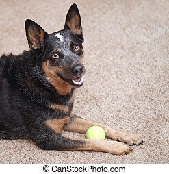 Dog smiling with tennis ball indoor