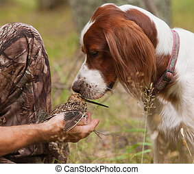 dog sniff snipe in the hands - setter sniff snipe in the ...