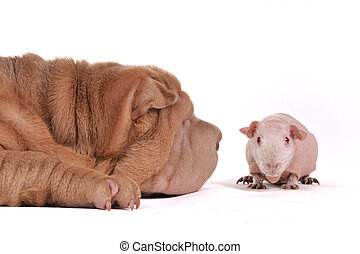 Dog sniffing a cavy