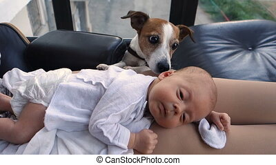 Dog sniffing a newborn human baby in the interior. Baby and...