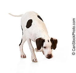 dog sniffing the ground on white background