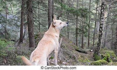 Dog sniffs air in a mountainous forest looking for something and then runs away