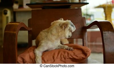 Dog so cute on chair - Dog so cute mixed breed with...