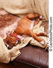 dog on sofa relaxing. staffordshire bull terrier sleep with blanket