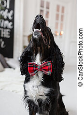Dog spaniel in a red bow tie in the interior of the light room. Pet is three years old. Red checkered necktie. best and faithful friend