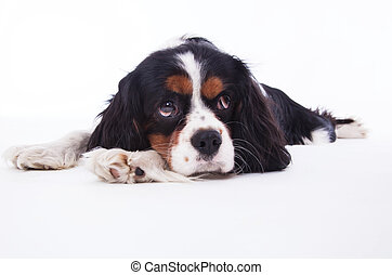 Dog spaniel on the white background.