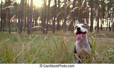 Dog staff runs through the forest at sunset. Slow motion -...