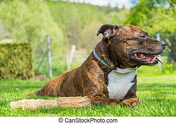 Dog, Staffordshire bull terrier,