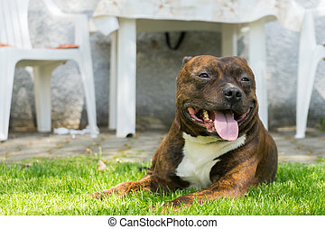 Dog, Staffordshire bull terrier