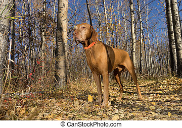 dog standing in fall colour forest