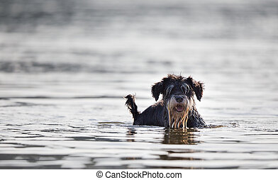 Cute wet dog standing in shallow water on the beach (Miniature Schnauzer)