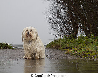 A dog is wet and sad in front of a puddle in the rain.