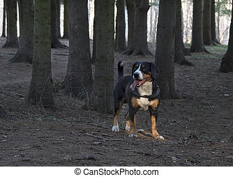 Dog standing in the spruce forest