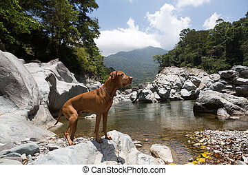 dog standing on a rock by the Cangrejal river in Honduras
