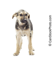 dog standing on a white background isolated